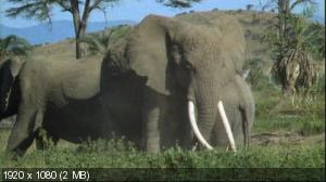 ���: ������������ � ������� / PBS: Nature - Echo: An Elephant to Remember (2010) BD Remux